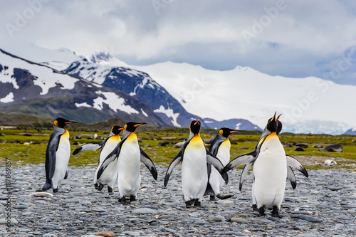 Fotobehang Antarctica Group of king penguins coming together , mountain background, South Georgia, Wildlife scene from nature. Animal from Antarctica,