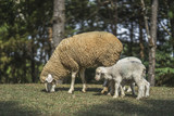 sheep with lambs on the hills - 187873265