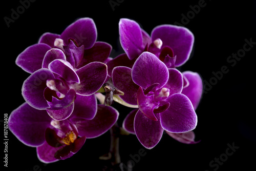 Orchid on black background - 187878408
