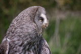 A very close profile portrait of a great grey gray owl facing to the right with its beak open - 187889069