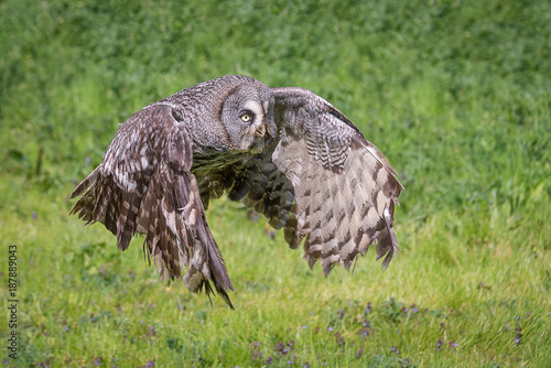 a close photograph of a great gray grey owl Strix nebulosa in flight. Flying from left to right in the frame