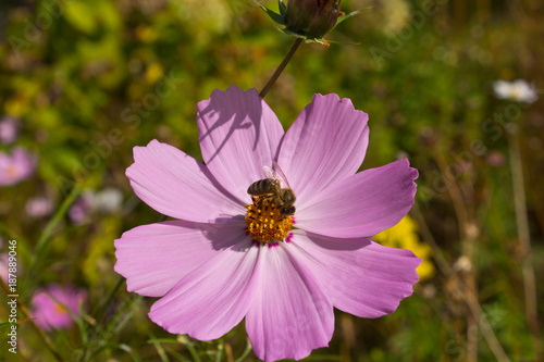 Fotobehang Bee Insect collects nectar and pollen from flowers cosmos