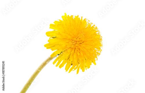 dandelion flower - 187893241
