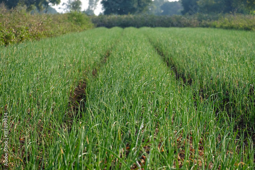 In de dag Olijf onion farm field, Maharashtra, India