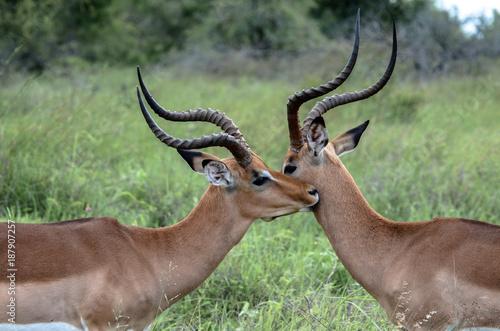 Foto Murales Impala Love