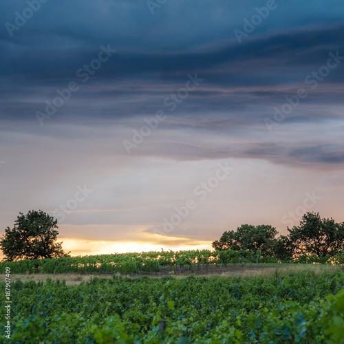 Poster Wijngaard Sonnenuntergang und schwere Wolken in den Weinbergen