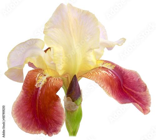 Fotobehang Iris iris flowering purple insulated
