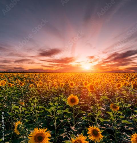 Keuken foto achterwand Natuur Beautiful sunflowers field on sunset background