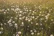 a field of ripe dandelions in sunlight - 187911616