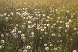 a field of ripe dandelions in sunlight