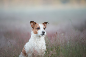 Jack Russell Terrier in nature. The dog in the Heather