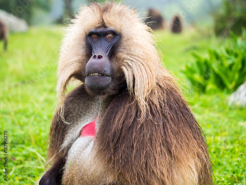 Gelada (Theropithecus gelada) monkeys in Semien Mountains, Ethiopia