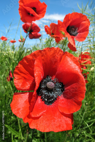 in the field grow bright red poppies, in the distance the blue sky - 187916473
