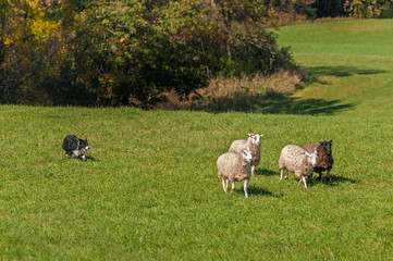 Stock Dog Moves Group of Sheep (Ovis aries) Away From Woods