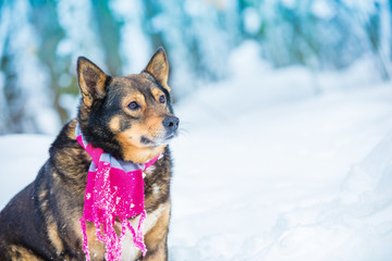 Fashion portrait of a dog outdoors in snowy winter. Dog wearing scarf