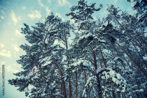 Foto Murales Winter landscape. Pine trees covered with snow against blue sky