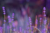 Lavender bushes closeup on sunset. Lavender field closeup. Blooming lavender.Sunset gleam over purple flowers of lavender.