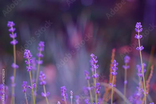 Fotobehang Lavendel Lavender bushes closeup on sunset. Lavender field closeup. Blooming lavender.Sunset gleam over purple flowers of lavender.