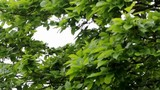 Tree green leaves shaking with wind - 187934809