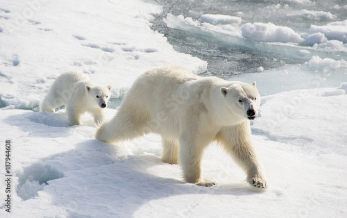 Canvas Ijsbeer Bear and Cub on the arctic icecap searching for seals