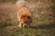 A brown butterfly dog is playing on the grass.