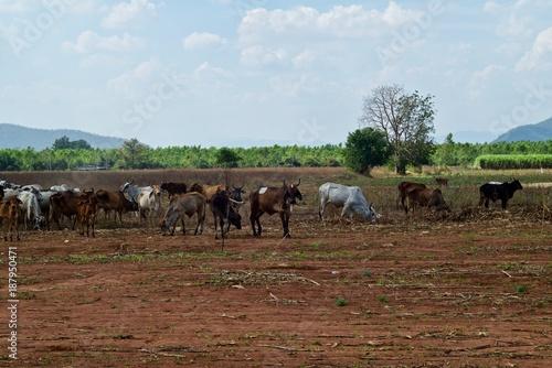 Staande foto Diepbruine Animals in a wide open field waiting for the crop planting season.