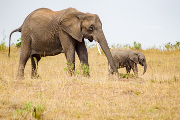 Elephant and her cub in the savannah of Maasai Mara Park in Kenya