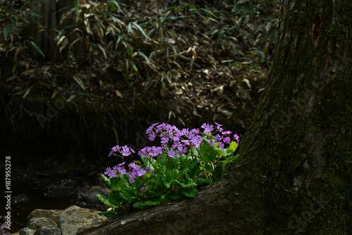 Foto Murales 야생화 앵초꽃