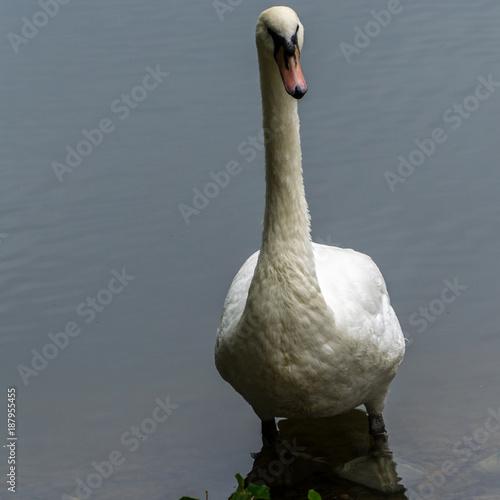 Fotobehang Zwaan Swimming swan