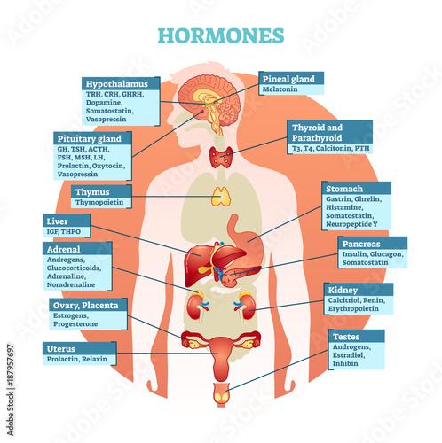 GamesAgeddon - Human body hormones vector illustration diagram ...