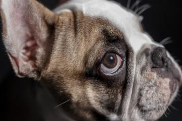 Mollie French Bulldog