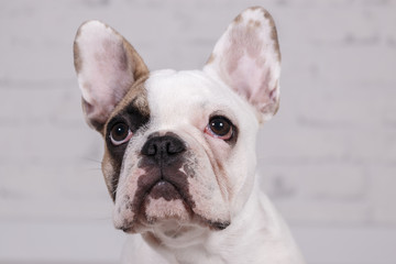 Mollie French Bulldog