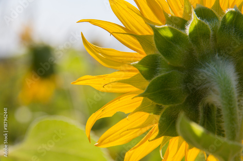 Fotobehang Meloen close up of a sunflower