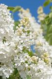 Weißer Flieder, Syringa - 187962656