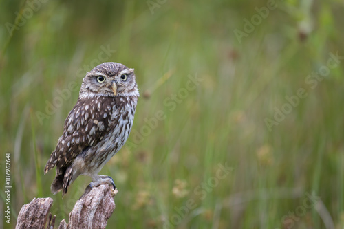 Little owl or Athene Noctua