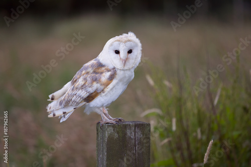 White barn owl on fence post