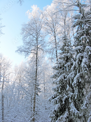 winter landscape forest in snow frost with sunny light beams - 187963463