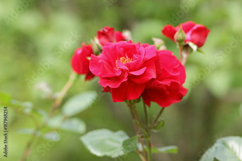 Foto op Canvas Klaprozen Valentine's Day, red roses, March 8, greeting card with flowers on holiday, natural background, declaration of love, red flowers in pop art style, minimalism