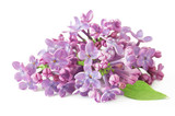 lilac flowers isolated on white background - 187984418