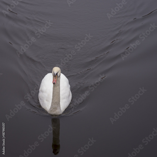 Fotobehang Zwaan Beatutiful swan in winter day