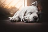 young cute labrador retriever dog puppy lies in the sun sleeping