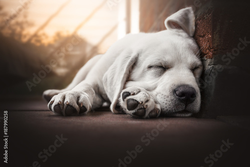 Fototapeta young cute labrador retriever dog puppy lies in the sun sleeping