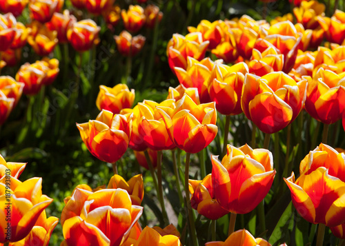 Yellow tipped, red tulips in the field