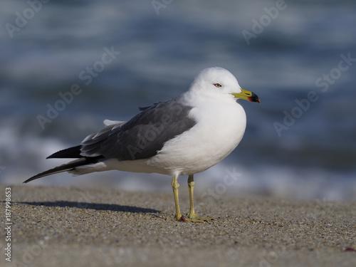 Black-tailed gull, Larus crassirostris - 187998653