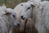 Sheep close-up in the meadow in the netherlands - 188002045
