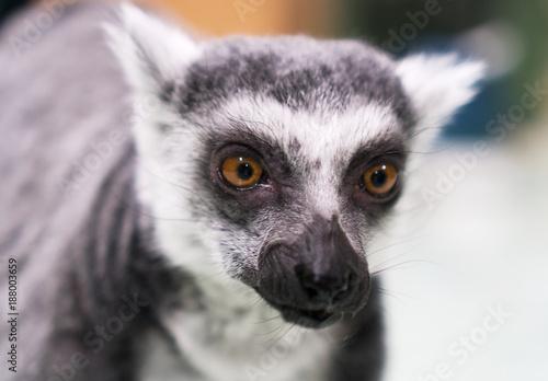 Keuken foto achterwand Natuur Portrait of a lemur in petting zoo.