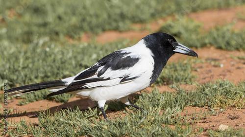 Aluminium Pinguin Pied Butcherbird (Cracticus nigrogularis) race