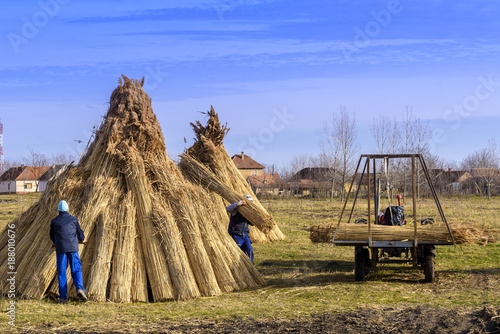 Fotobehang Natuur Workers make bundle of reed