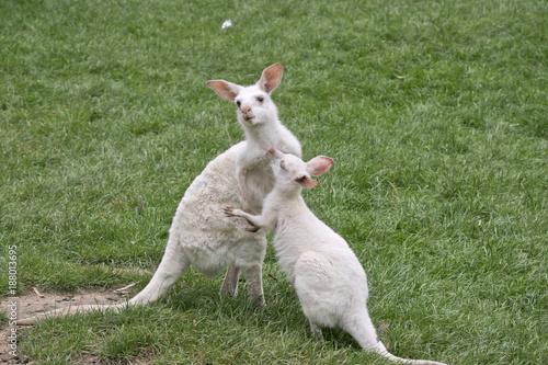 Fotobehang Kangoeroe albino kangaroo and her joey
