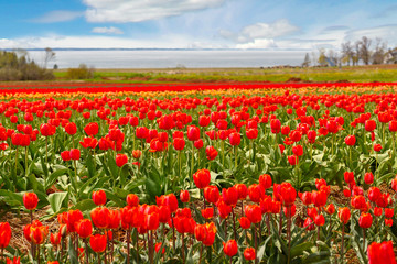Fields of flowering tulips.